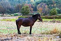 一匹马在秋天的田野里