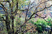 乌桕树树干