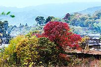 黟县塔川红色的乌桕树