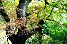 一棵古红枫树