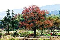 一棵红色树叶的乌桕树