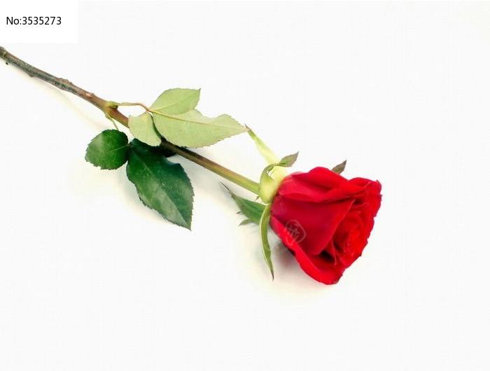俯拍一朵玫瑰花图片