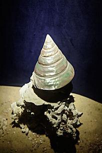 光滑圆锥式贝壳海螺