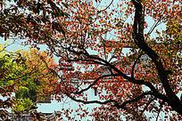 徽派民居与红叶乌桕树