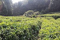 九真山茶园