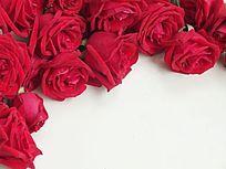 棚拍玫瑰鲜花图片