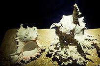 奇形怪状的贝壳海螺