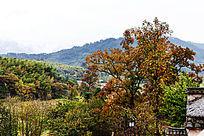 塔川的乌桕树