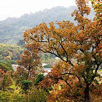 塔川乌桕树已经红了