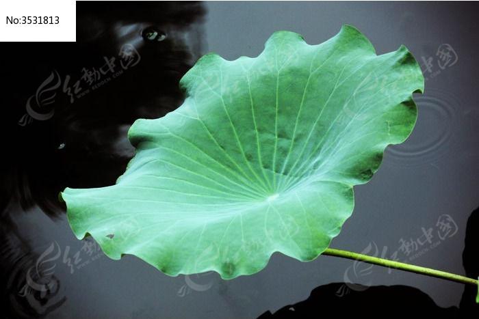 原创摄影图 动物植物 花卉花草 一朵荷叶  请您分享: 红动网提供花卉