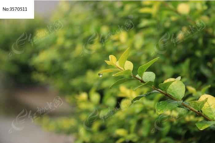 雨后的树叶图片,高清大图_树木枝叶素材
