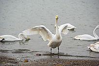 挥动翅膀鸣叫的天鹅