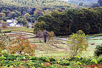 秋树与农田