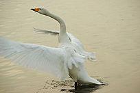 天鹅扇动翅膀