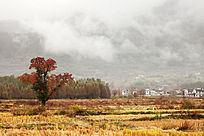 田野中一棵红叶乌桕树