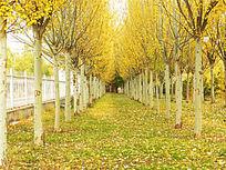 唯美秋天的杨树林