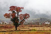 一棵红叶乌桕树