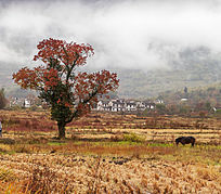 一只马在红叶乌桕树旁吃草