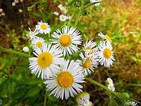 草地上几朵白色的小野菊花