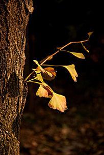 枯黄色的银杏树叶子和树干