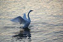 黎明时刻醒来的大天鹅挥动翅膀舒展身体