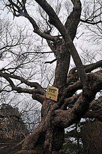 木札岭原始森林的龙爪树