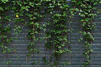 墙壁垂吊的藤蔓植物