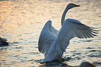 迎着日出扇动翅膀的天鹅