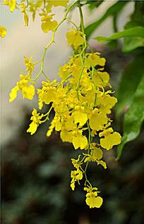 金黄色的藤蔓花卉