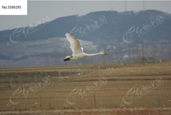 贴近地面飞行的一只天鹅图片,高清大图_空中动物素材