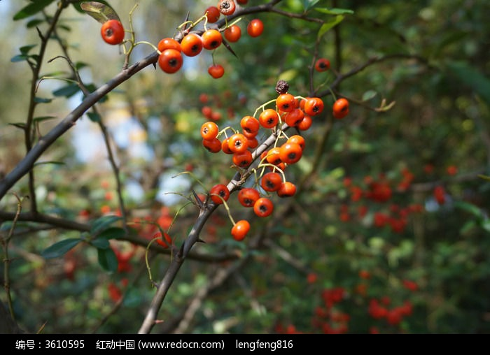 慈湖野果子图片,高清大图_动物植物素材