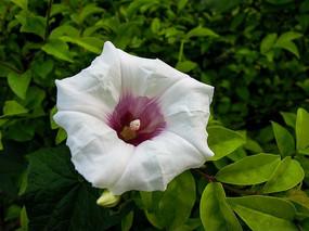 恩施朝阳观的白色喇叭花