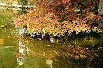 河边倒影的红树叶