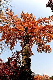 红枫树与蓝天空