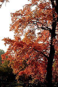 红透半边天的枫叶