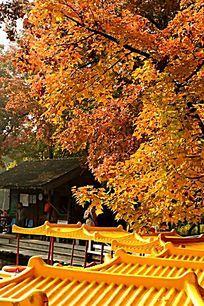 秋色浓意的红叶