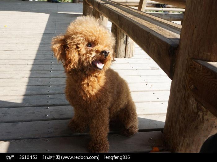 泰迪犬图片,高清大图_家禽家畜素材
