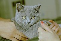 同学买的英国短猫 兰博