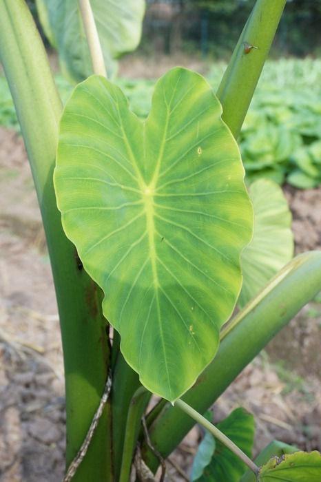 原创摄影图 动物植物 农作物 芋艿叶子  请您分享: 红动网提供农作物