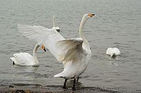 大天鹅伸展身体挥动翅膀