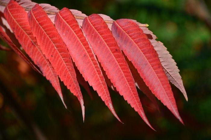 原创摄影图 动物植物 树木枝叶 红色的树叶  请您分享: 红动网提供