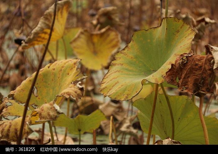原创摄影图 动物植物 花卉花草 秋天凋落荷叶  请您分享: 红动网提供
