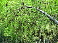 湖南桃江罗溪瀑布附近开了花的竹子