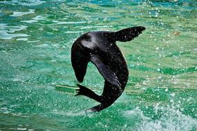 水面上空中翻滚水花四溅的海狮