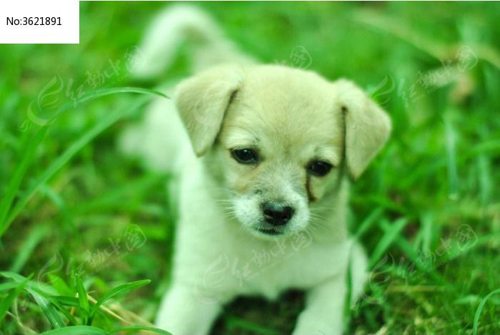 武汉草地上忧郁的小白狗图片