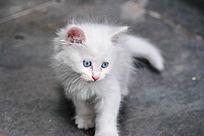 武汉超可爱的白色小奶猫