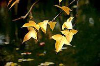 垂挂的秋天枫叶