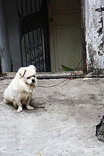 一只白色小狗