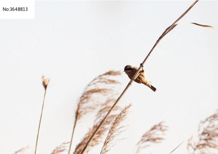 原创摄影图 动物植物 空中动物 芦苇杆上的棕头鸦雀