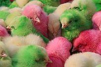彩色的小鸡鸡